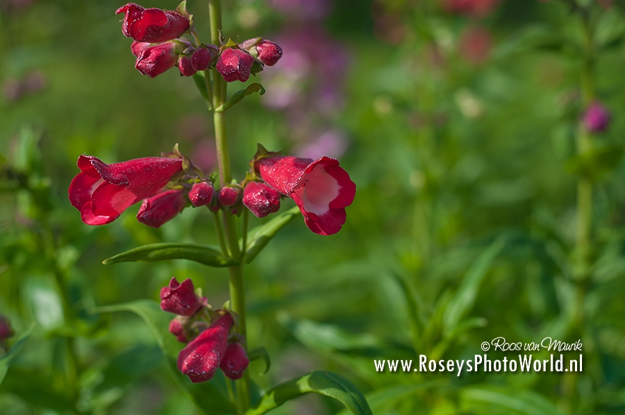 Penstemon 2013-4803
